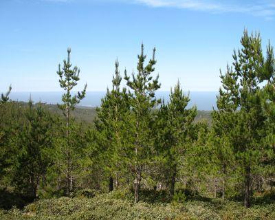 Pino y eucalipto, protagonistas de una inadecuada reforestación