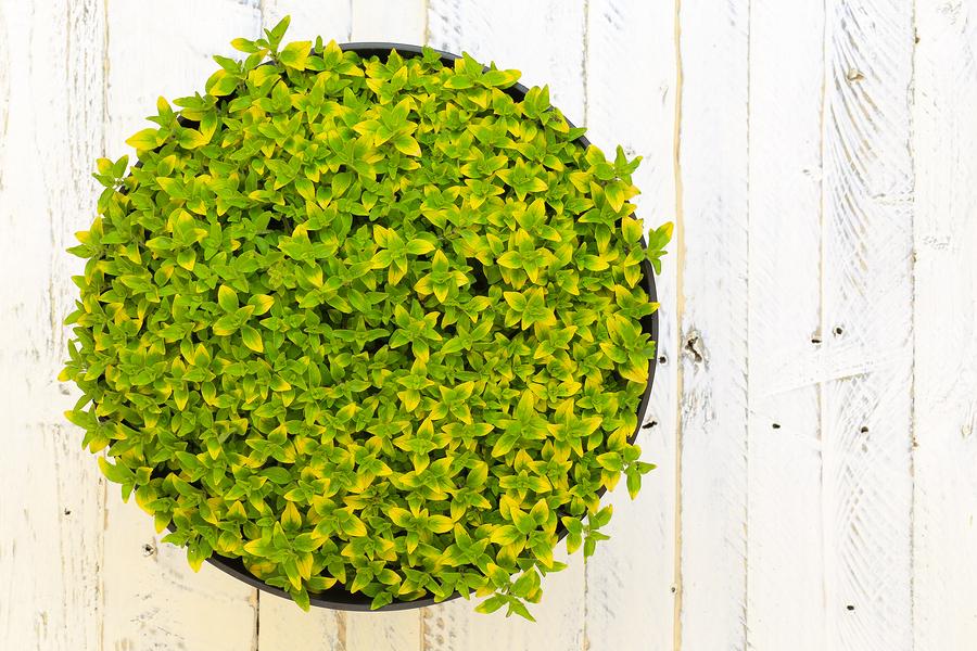 planta de orégano